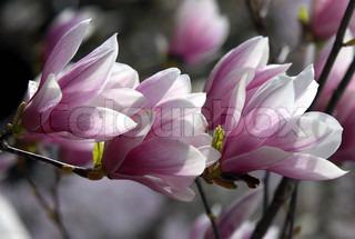 Image of 'spring, magnolia, tree'