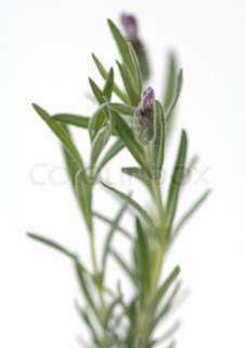 Image of 'lavender, flower, stem'