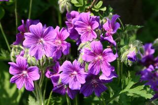 Billede af 'botaniske, plante, Blomst'