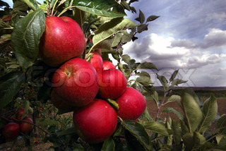 Billede af 'æbletræ, plante, rødmosset'
