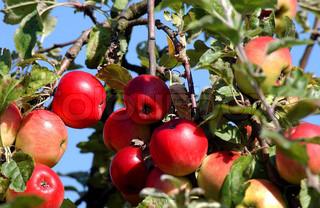 Billede af 'æbler, frugttræer, æbletræ'