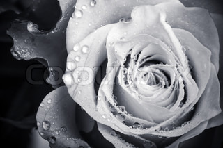 Wet white rose flower monochrome close-up photo with shallow depth of field