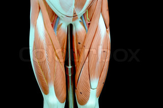 muscle anatomy of human