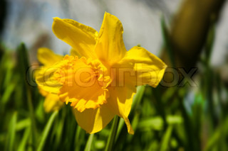 Daffodil flowerhead in green grass