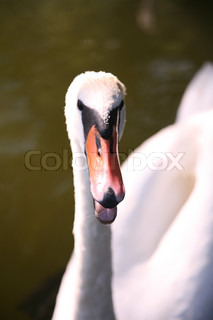 Close-up on swan in lake