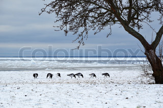 Grazing geese in snow