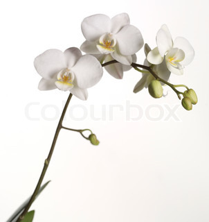 Image of 'orchid, botanical, orchids'
