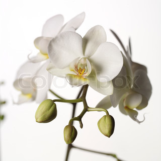 Image of 'orchid, cymbidium, orchids'