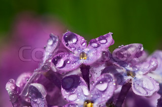 beautiful flowers of a lilac with rain drops