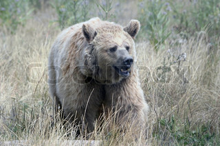 Image of 'mammal, wilderness, bear'