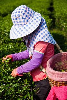 Tea cultivating in north of Thailand