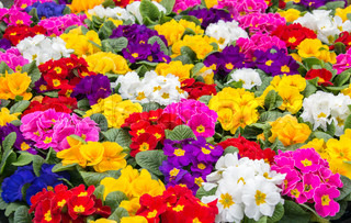 primula in all colors