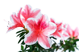azalea flower isolated