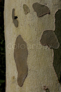 Image of 'trunks, trunk, tree trunk'
