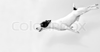 Full-length jack russell terrier in jump Black and white