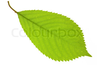 leaf of cherry
