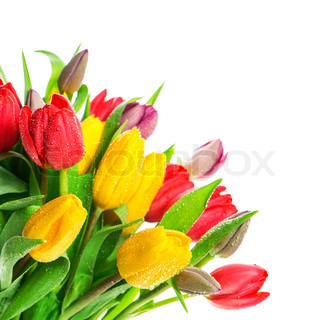 bouquet of fresh multicolor tulips over white