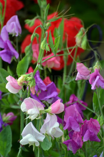 Sweet peas, clematis and roses in a garden