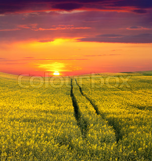 Summer Landscape with a field of yellow flowers Sunset