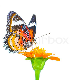 butterfly on a mexikanische sonnenblume stock foto. Black Bedroom Furniture Sets. Home Design Ideas