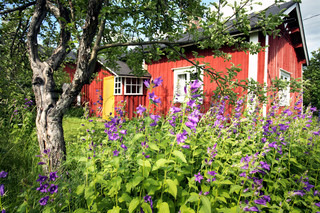 view in wild old garden with old apple tree and bluebells in front of small red cottage