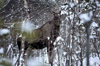 Vigilant female moose in the forest at winter time