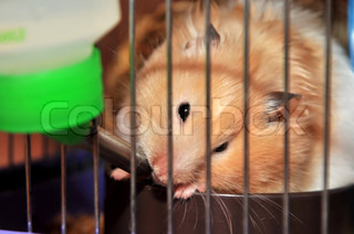hamster is drinking
