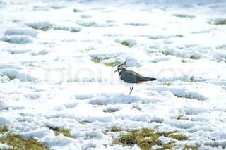 Vanellus vanellus in the snow