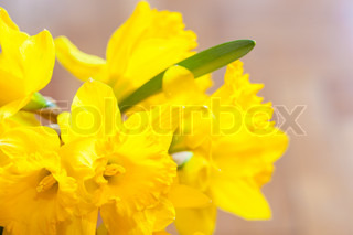 Beautiful narcissus flowers