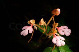 The Pink - Lipper Habenaria Pink Snap Drage Flower