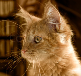 Maine Coon kitten portrait