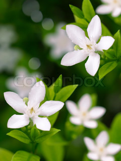 Countryside white flowers Inda flower Buddha ritual Close-up photo with natural light and colors, Wrigthia antidysenterica L RBr Stapf 1902