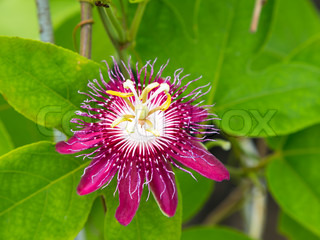 Passion flowers or passion vines Lady Magaret