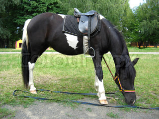 black and white pony with a saddle