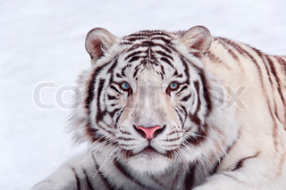 Attention look of a white tiger on snow