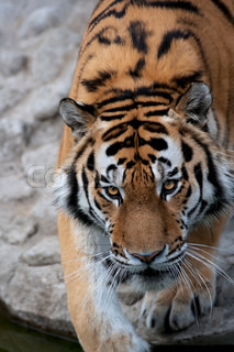 Eye to eye with a dreadful Siberian tiger