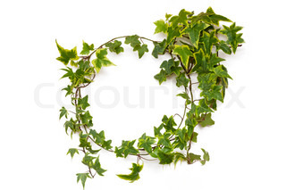 ivy plant natural circle frame on white background