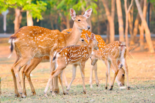 Mother and baby sika deer are resting deer when the ...
