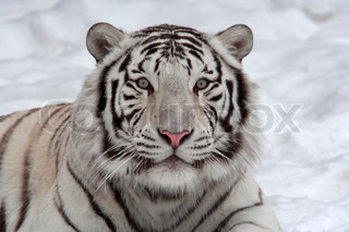 Stare of a white bengal tiger, lying on snow