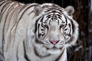 Glance of a passing by white bengal tiger