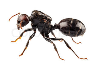 Black garden ant species Lasius niger in high definition with extreme focus and DOF depth of field isolated on white background