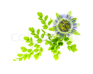 Maidenhair leaves with passionflower, white background