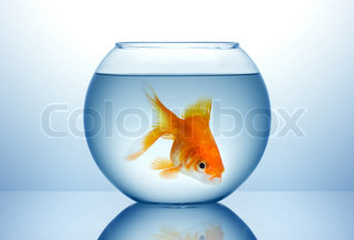 Fish bowl with gold fish in blue water stock photo for Legal fish bowl
