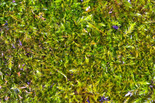 The texture of green moss in high resolution