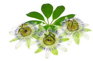 three passionflower flower on a leaf, on the white