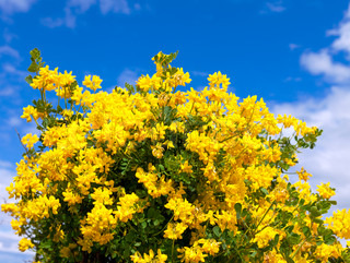 Bush of yellow flowers