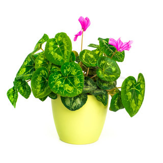 Blossoming plant of cyclamen in flowerpot