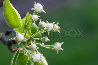 Flower buds of pears