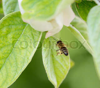 bee in flight in nature macro