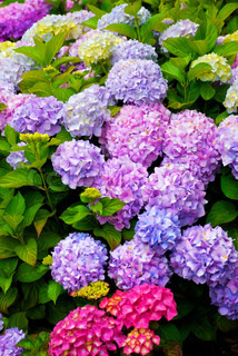 Multi Colored Hydrangea Bush Med Blooms